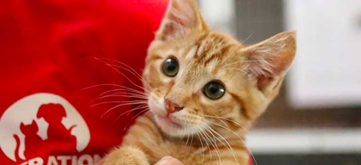 A kitten available for adoption through Operation Kindness, a leading no-kill animal shelter in North Texas