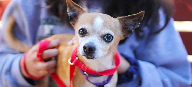 Senior chihuahua sitting on a volunteer's lap | Operation Kindness North Texas' Leading No-Kill Animal Shelter