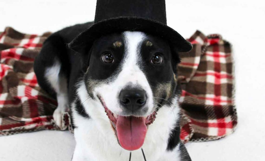 Dog with pilgrim hat from Operation Kindness, North Texas No-Kill Animal Shelter