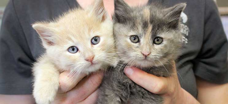 Two adoptable kittens being help by an Operation Kindness volunteer | North Texas' Leading No-Kill Animal Shelter and Adoption Center